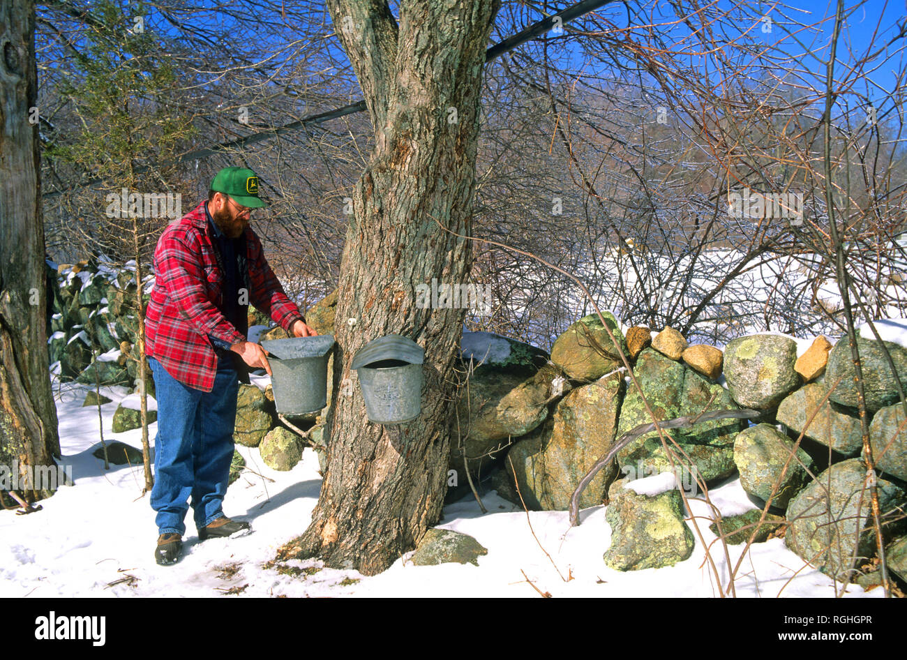 Checking the sap buckets during Maple syrup season in Richmond, Rhode Island, USA - Stock Image