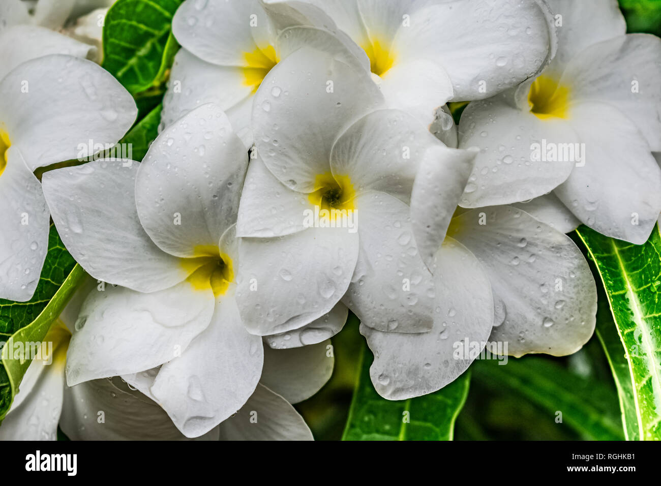 very close view of plumeria white flowery in the tree with water drops looking awesome after rain fell. Stock Photo