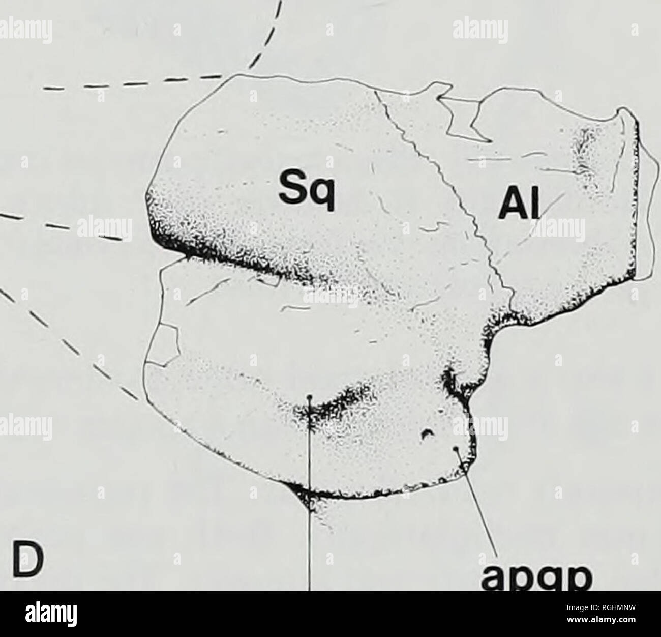 . Bulletin of the British Museum (Natural History), Geology. B apgp mpgp Sq mpgp aP9P. mpgp apgp Text-figure 48 Plagiolophus, glenoid region. A-C, holotype of Plagiolophus curtisi curtisi sp. & subsp. nov. (M26176) from Barton Cliff. D, P. fraasi Meyer (Ml733) from the Phosphorites du Quercy. A, lateral view of right glenoid region; B, posterior view of right glenoid region; C, ventral view shown as right glenoid region, but composite of right and left; D, ventral view of left glenoid region (reversed). Abbreviations: Al = alisphenoid; apgp = accessory postglenoid process; gf= glenoid foss Stock Photo