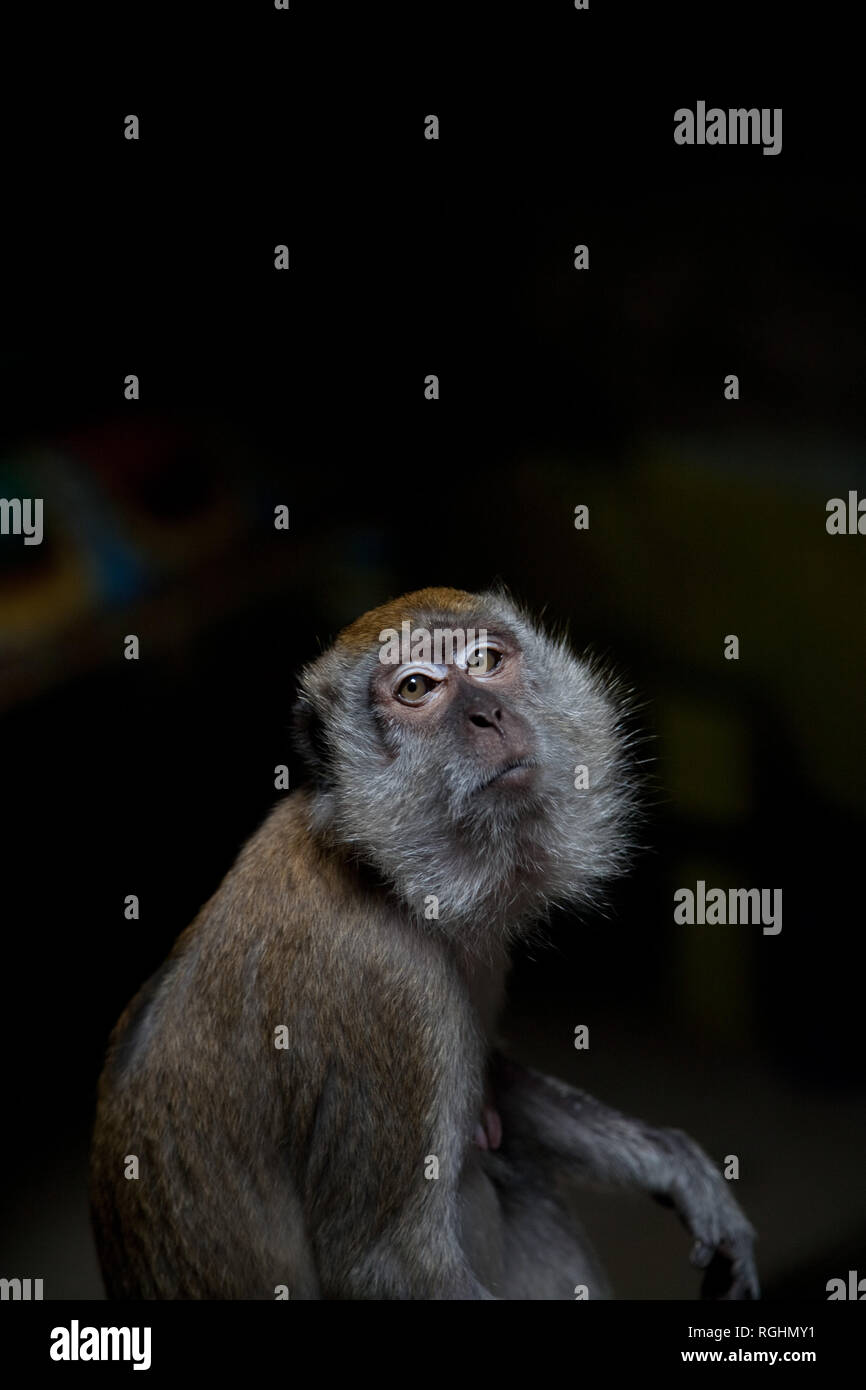 Macaque monkey in the Batu Caves, Kuala Lumpur.  Plenty of stories can be found of them harassing tourists, you just need to be sensible. - Stock Image
