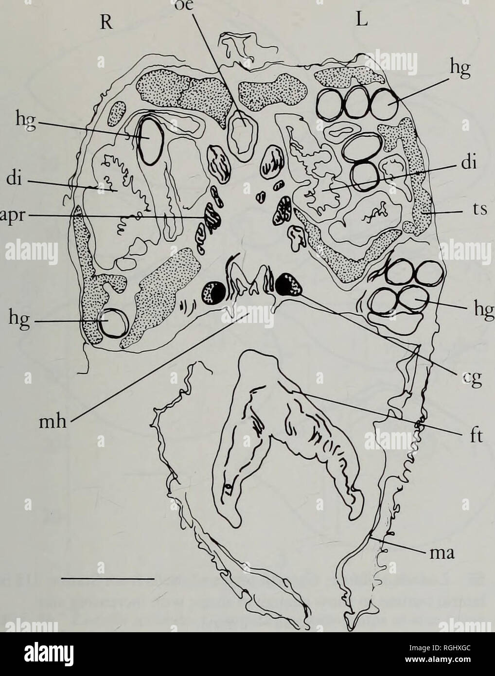 . Bulletin of the British Museum (Natural History) Zoology. DEEP SEA PROTOBRANCHIA 153. Fig. 53 Ledella solidula: Transverse ventral section of body immediately anterior to the stomach. (Scale = 0.1 mm). dorsal margin slopes sharply to form curve with anterior edge, postero-dorsal margin slopes more gradually from umbo, margin almost straight in large specimens but usually slightly convex, angled slightly at distal end of hinge plate, keel extends from umbo to tip of sharp pointed rostrum with concentric ridges making a right angle at its crest, postero- ventral margin conspicuously sinuous, v - Stock Image