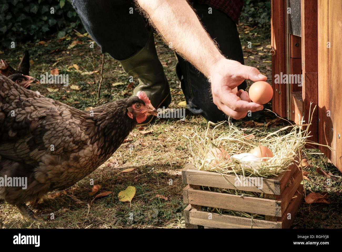 Free-range chicken, hand holding hen's egg Stock Photo
