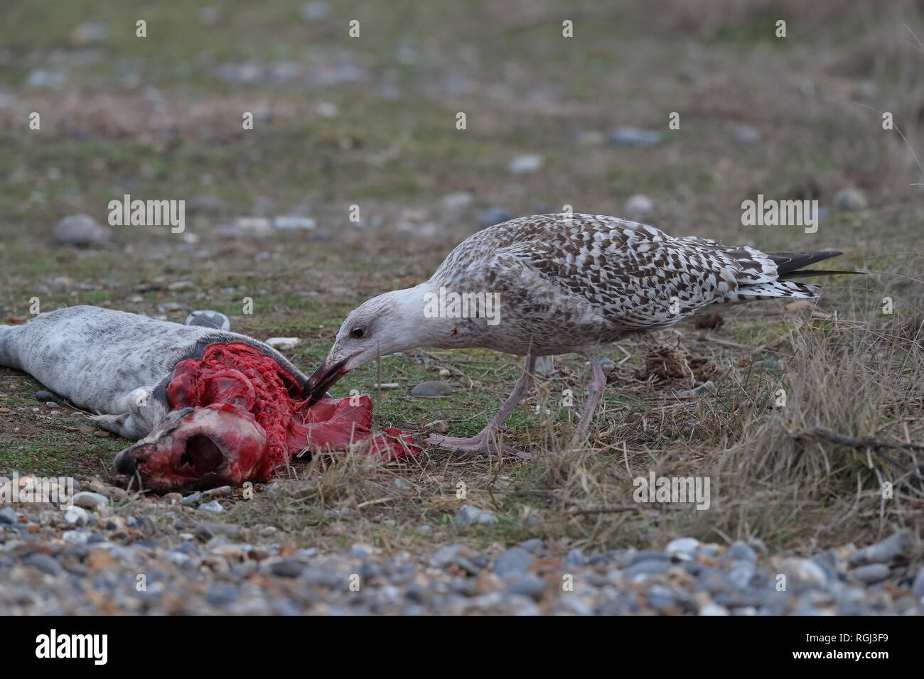 1st Winter Great Black-backed Gull feeding on seal carcass - Stock Image