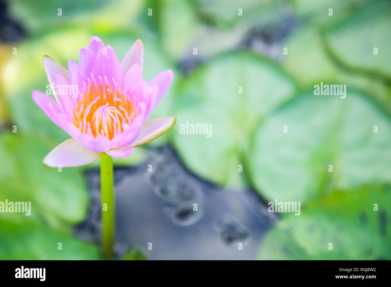 Beautiful Blossoming Aquatic Pink Color Water Lily Lotus Flower In