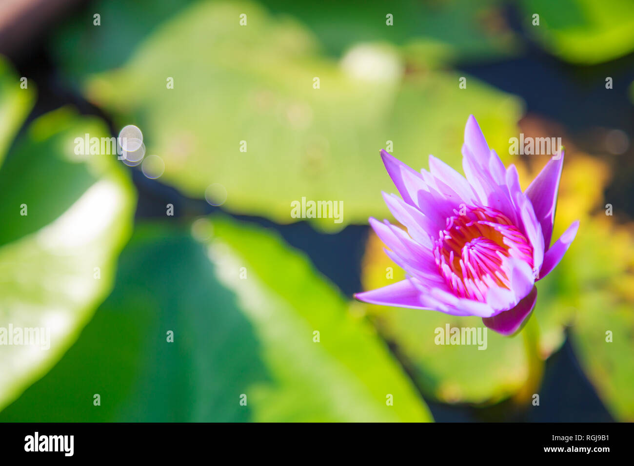 Beautiful Blossoming Aquatic Purple Color Water Lily Lotus Flower