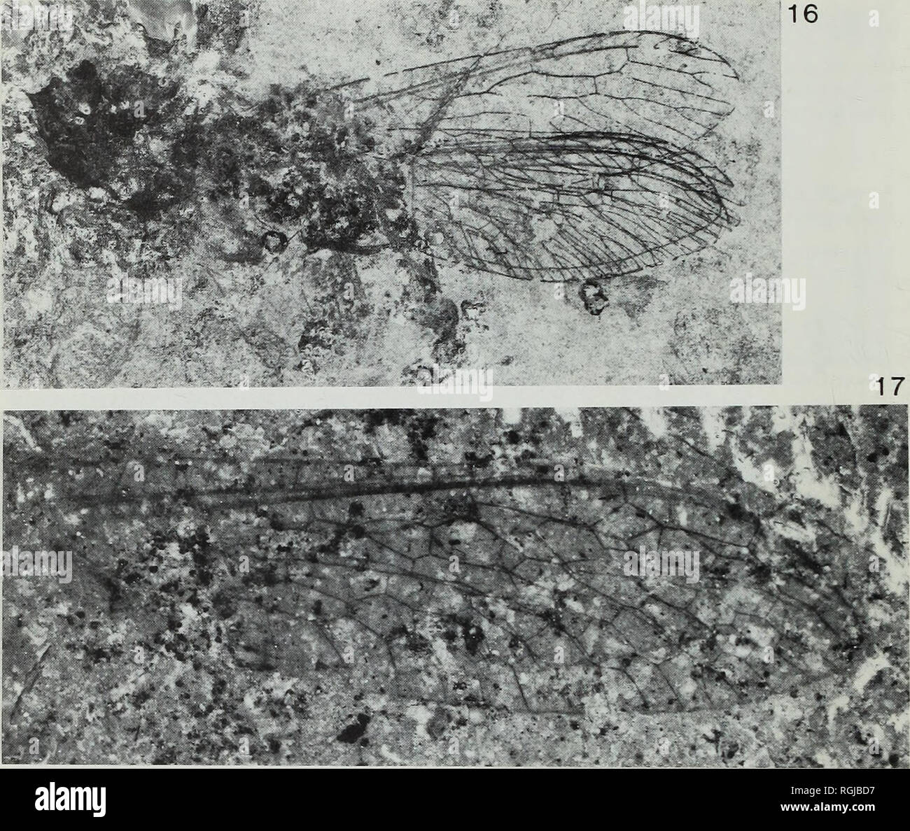 . Bulletin of the British Museum (Natural History), Geology. 62 P. E. S. WHALLEY. Fig. 16 Metaraphidia confusa Whalley. Holotype, GSM 117552. Lower Lias, Dorset (14-5 mm), British Geological Survey colln. Fig. 17 Priscaenigma obtusa Whalley. Holotype, 1.53898. Lower Lias, Dorset (12 6mm). Family BAISSOPTERIDAE Martynova, 1961 Genus PRISCAENIGMA Whalley, 1985 Priscaenigma obtusa Whalley 1985 Figs 14, 17 1985 Priscaenigma obtusa Whalley: 148; figs 43, 46. Holotype. In.53898, Black Ven, Charmouth, Dorset. Lower Jurassic. Dimensions: wing 12-6 mm. Discussion. Some doubt was expressed in the origin - Stock Image
