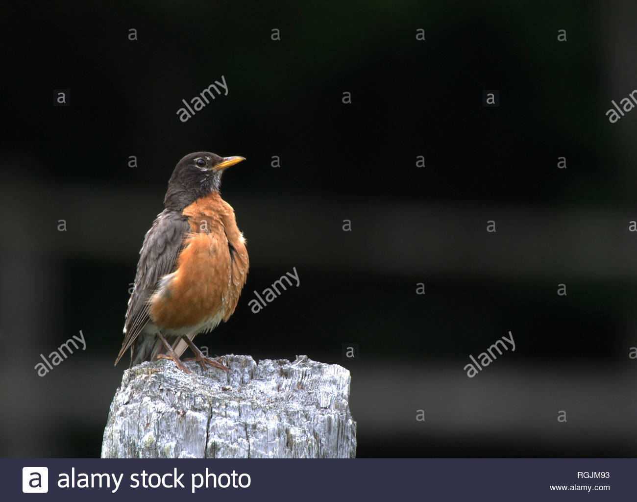 Robin on fence post - Stock Image