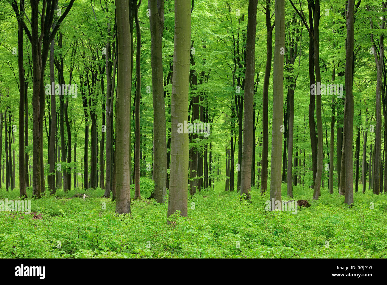 Vital green forest in spring. Westerwald, Rhineland-Palatinate, Germany Stock Photo