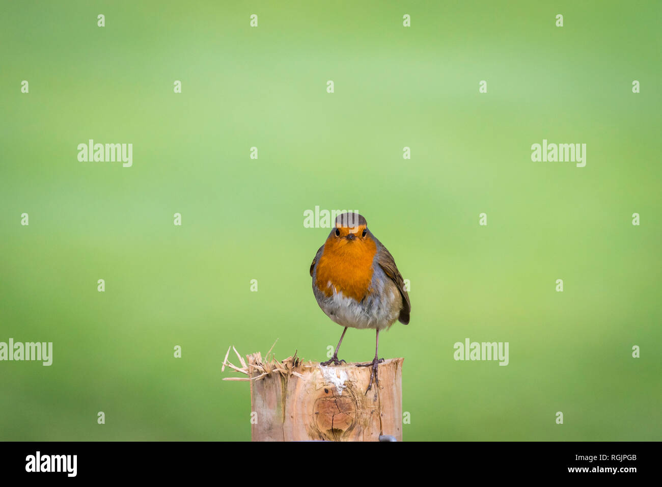 UK, Scotland, Caerlaverock, European Robin (Erithacus rubecula) - Stock Image