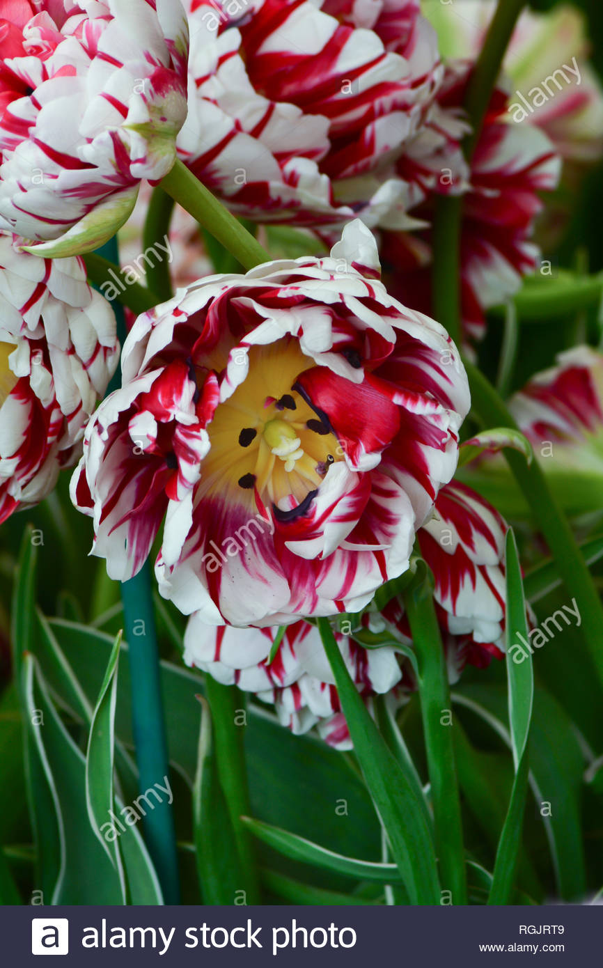 Tulipa Triumph Grand Perfection, red and white colors, a height of 40cm and long flowering lives.  May - Stock Image