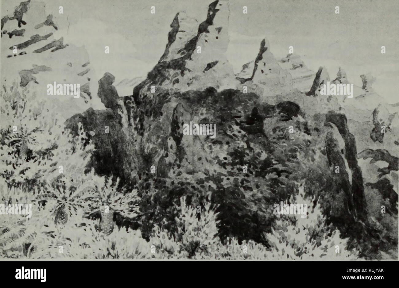 """. Bulletin of the British Museum (Natural History) Botany. VASCULAR PLANTS FROM TRISTAN DA CUNHA 409. """"^' â if. â . Fig. 33 Gough Island near the ridge peaks, with the ferns Blechnum palmiforme and Histiopteris incisa var. carmichaeliana and the island tree, Phylica arborea, forming the foreground. 8 June 1927. From an original watercolour by Sir Alister Hardy. (BM), 174 (BM); Dver 3555 (PRE, NBG); Fleming 78 (E); Mejland 157 (O); 1014 (O, K), 1437 (O), 1438 (O, BM), 1439 (O, BM), 1440 (O, BM, K), 1441 (O); Thouars s.n. (P -holotype of P. palmaeformis); Wace T.40 (BM). Inaccessible: Chris Stock Photo"""