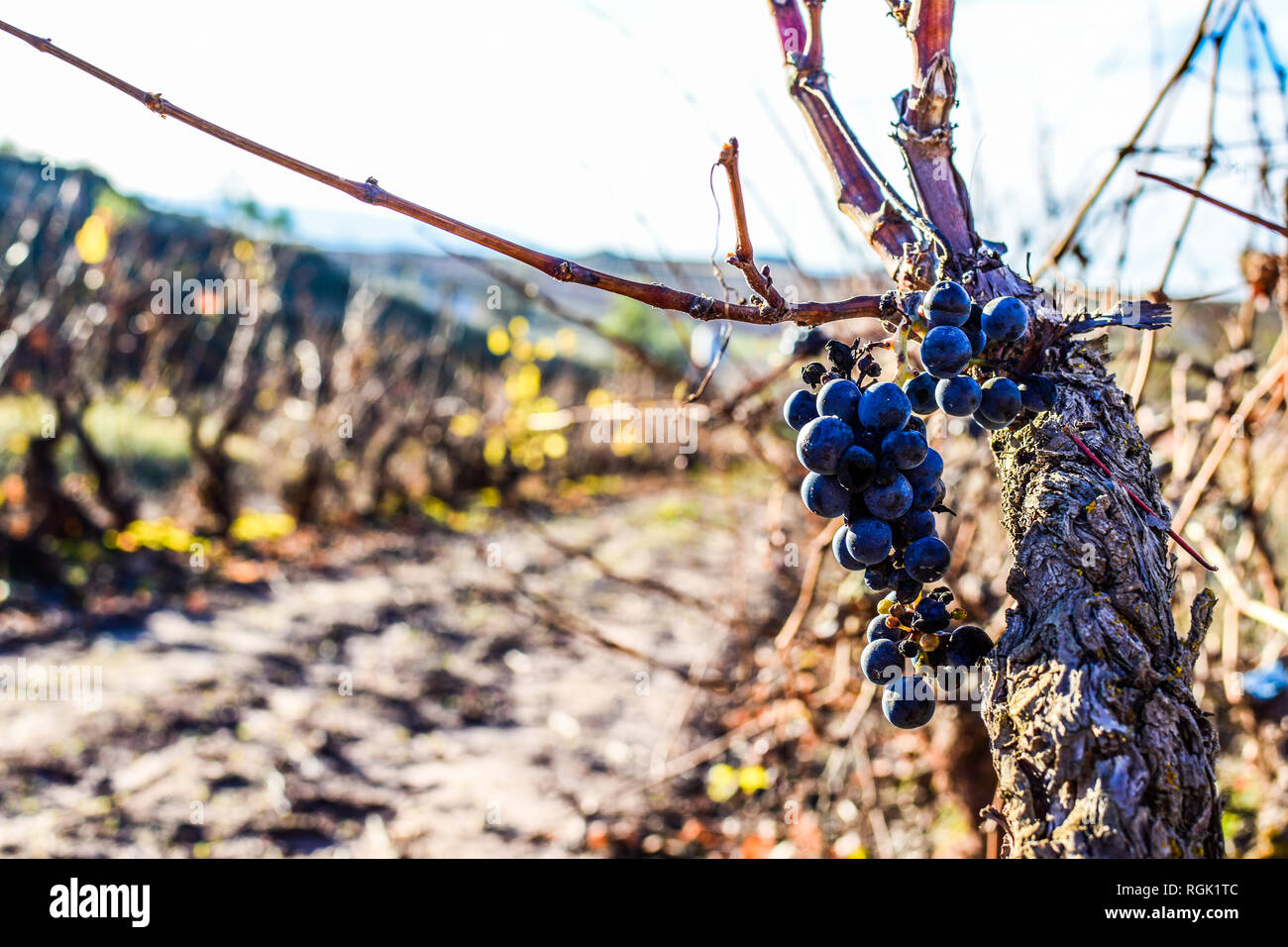 Grapevine Pruning Stock Photos Grapevine Pruning Stock Images