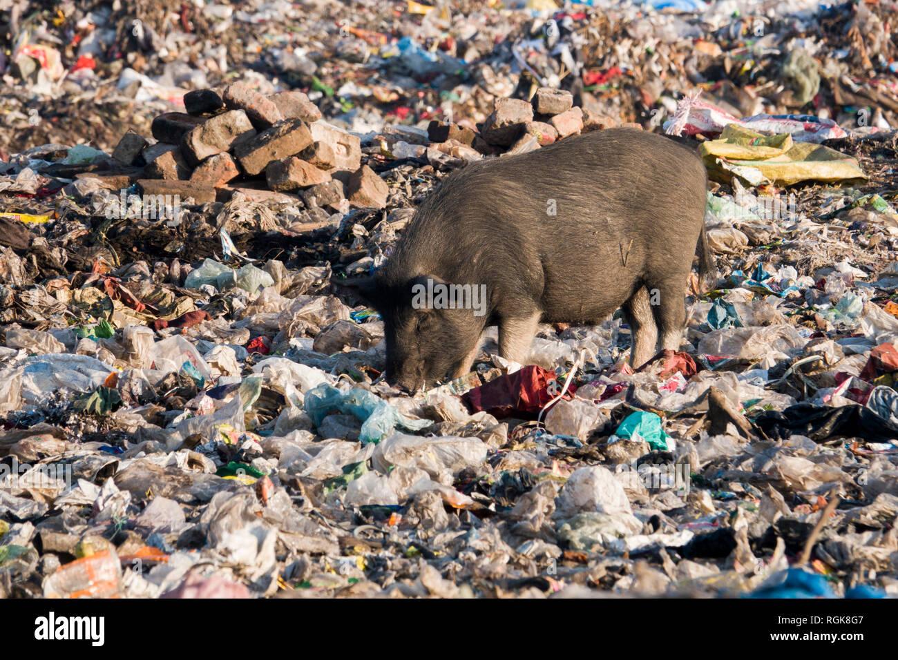 Pig scavenging through trash at dumping ground in Rishikesh, Uttarakhand, India - Stock Image