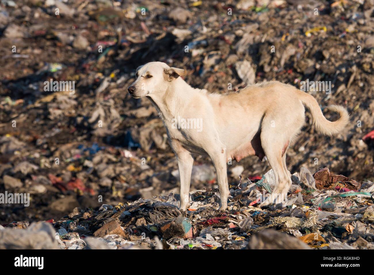 Stray dog among piles of trash at dumping ground in Rishikesh, Uttarakhand, India - Stock Image