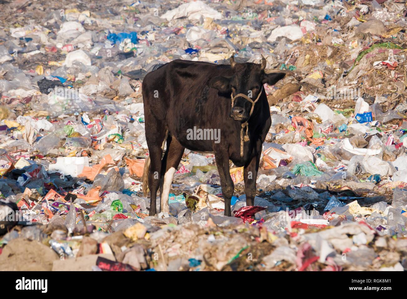 Cow standing among piles of plastic trash in dumping ground at Rishikesh, Uttarakhand, India - Stock Image
