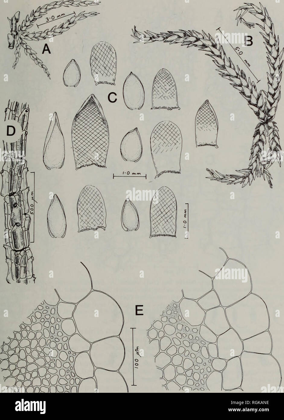 . Bulletin of the British Museum (Natural History) Botany. A REVISION OF AFRICAN SPHAGNALES 125. Fig. 26 Sphagnum capense Hornsch. A, B, branch fascicles; C, branch leaves (left figs) and stem leaves (right, cross-hatched figs); D, branch cortex; E, transverse sections of stems (B drawn from Ecklon's type collection; the remainder from various South African localities).. Please note that these images are extracted from scanned page images that may have been digitally enhanced for readability - coloration and appearance of these illustrations may not perfectly resemble the original work.. Briti - Stock Image