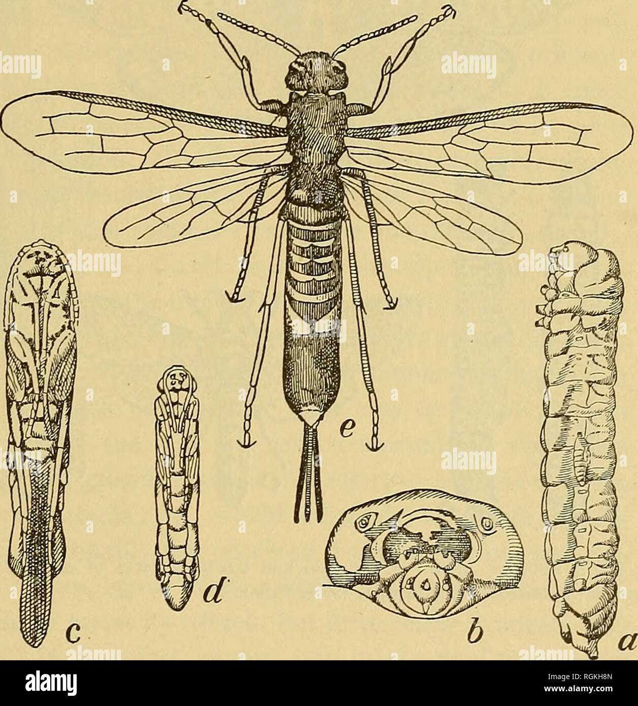 Bulletin - New York State Museum  Science  SHADE TREE PESTS