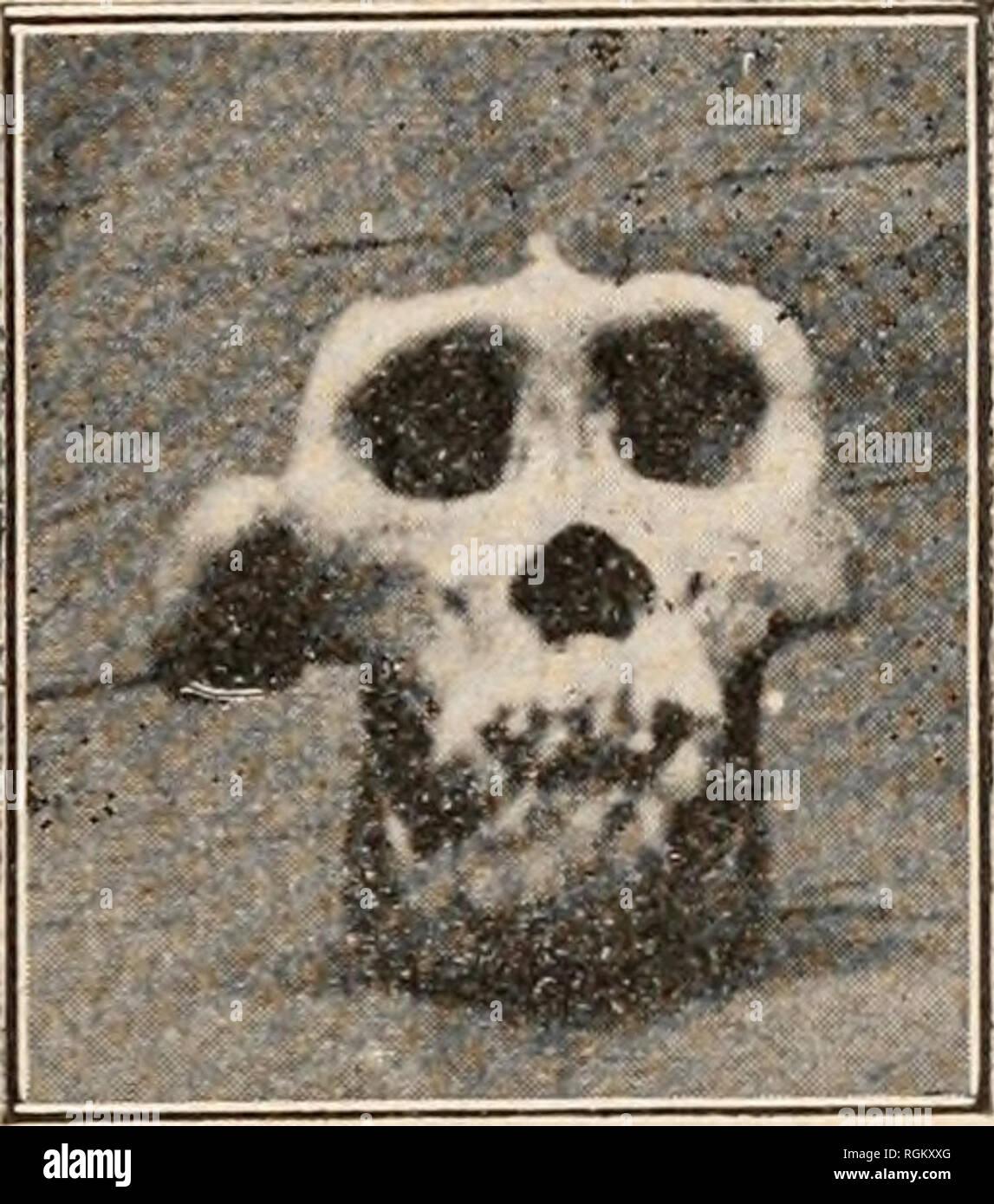 . Bulletin de la Société zoologique de France. Zoology. SÃANCE DU 28 DÃCEMBRE 1920 313 Aiijoui'triuii il parait que cela n'a plus le môme mérite car, pour en revenir cà l'observation de M. le professeur Tuouessart, il faut peut-être croire que dans l'Est Africain on les rencontre en plus grand nombre. En effet, depuis quelques années j'ai pu constater l'arrivée de plusieurs squelettes et d'un nombre assez important de crânes de Gorilles chez M. Rouppert, ostéologiste, rue de l'Ecole de médecine à Paris. Ces squelettes et crânes pro- viennent de l'intérieur vers Brazzaville En parla - Stock Image