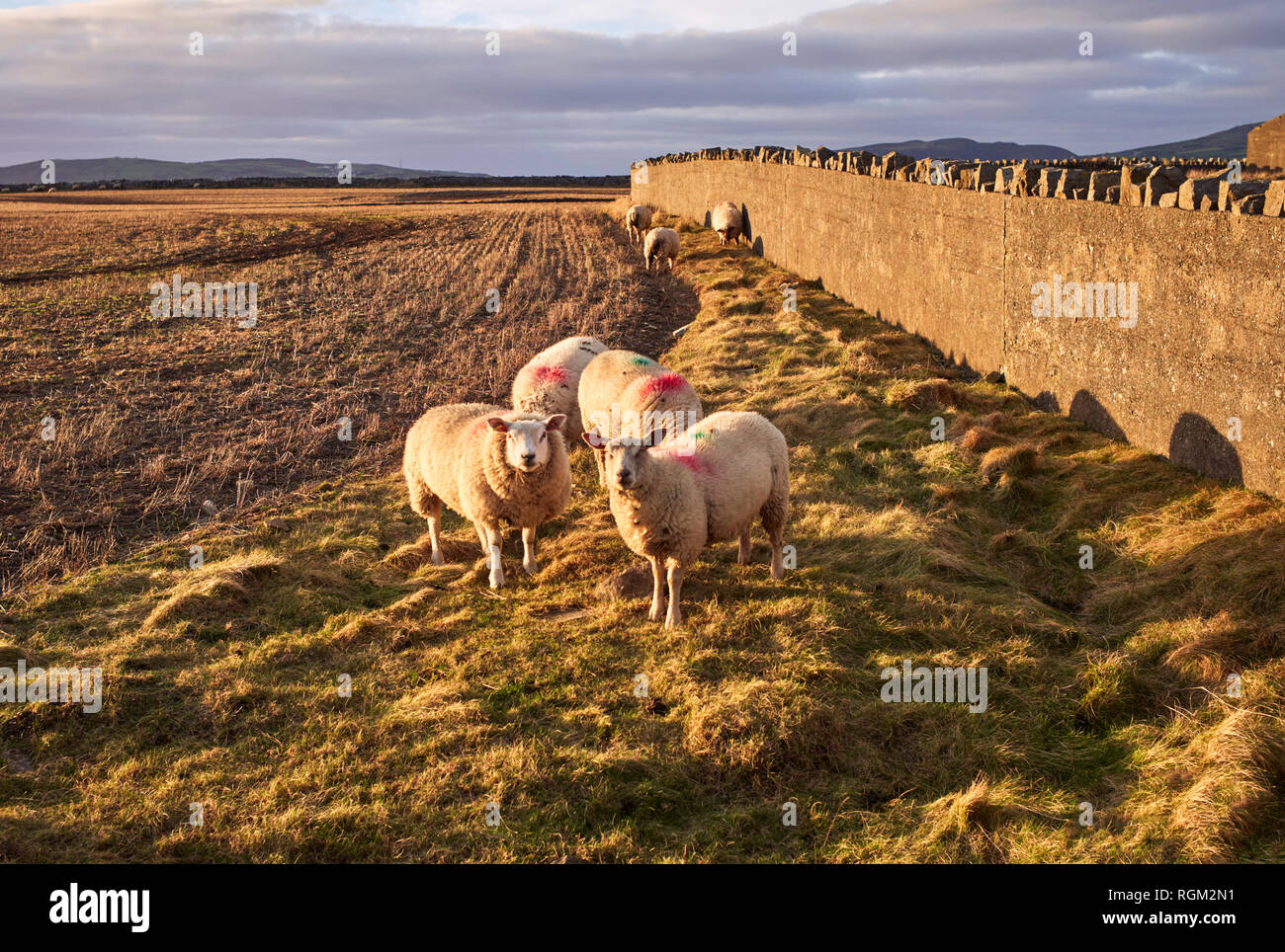 Curious sheep grazing near Scarlett, Castletown, Isle of Man in late winter afternoon sunshire - Stock Image