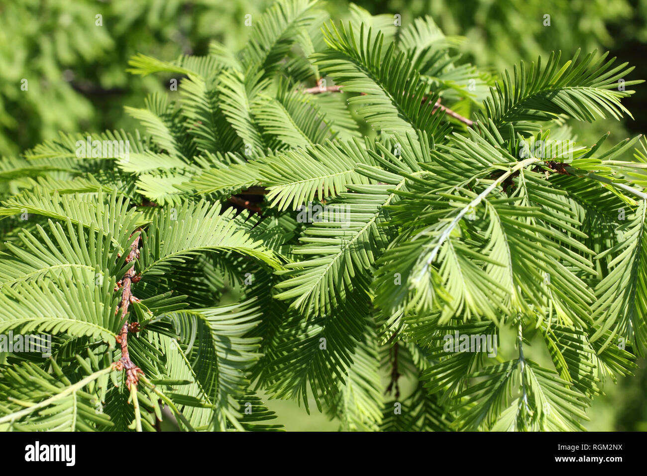 Branches of the Dawn Redwood, Metasequoia glyptostroboides in spring Stock Photo