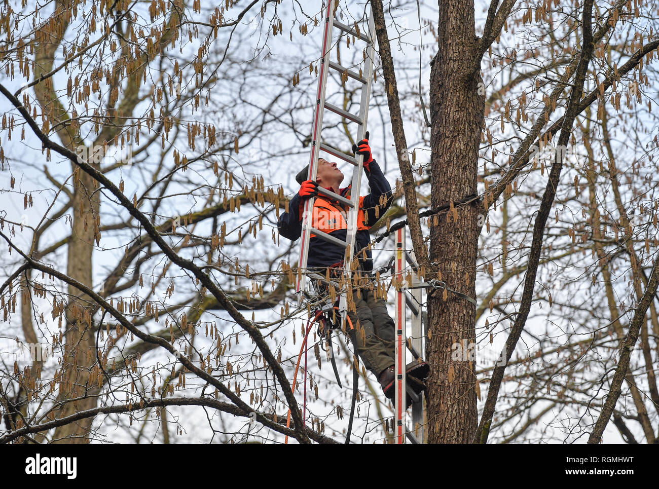 29 January 2019, Brandenburg, Sauen: Branko Eisermann, a forester from the Forst Brandenburg state enterprise, climbs up a tree hazel (Corylus colurna) ladder in the forest of the August Bier Foundation. The tree hazel is the large representative of the well-known hazelnut bush. Employees of the Brandenburg State Forest Service and the Humboldt University of Berlin harvested so-called 'Reiser' (rice harvesters) in the crowns of the tree hazel for the propagation of this tree species. The forest district Sauen has a very long and traditional history, which was founded before August Biers (1861- - Stock Image