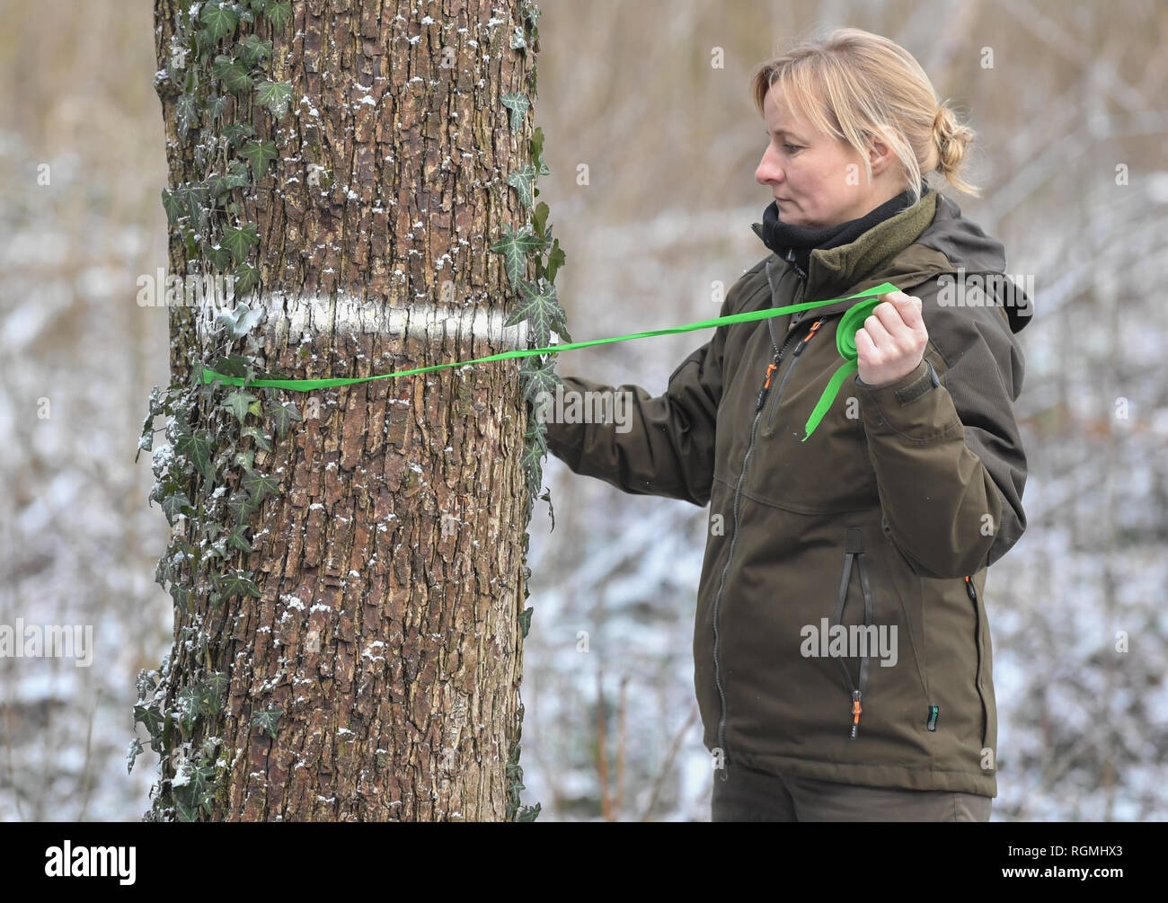29 January 2019, Brandenburg, Sauen: Monique Müller, forester of the August Beer Foundation, ties a mark around the trunk of a tree hazel (Corylus colurna). The tree hazel is the large representative of the well-known hazelnut bush. Employees of the Brandenburg State Forest Service and the Humboldt University of Berlin harvested so-called 'Reiser' (rice harvesters) in the crowns of the tree hazel for the propagation of this tree species. The forest district Sauen has a very long and traditional history, which was founded before August Biers (1861-1949). August Bier acquired the Sauen forest es - Stock Image