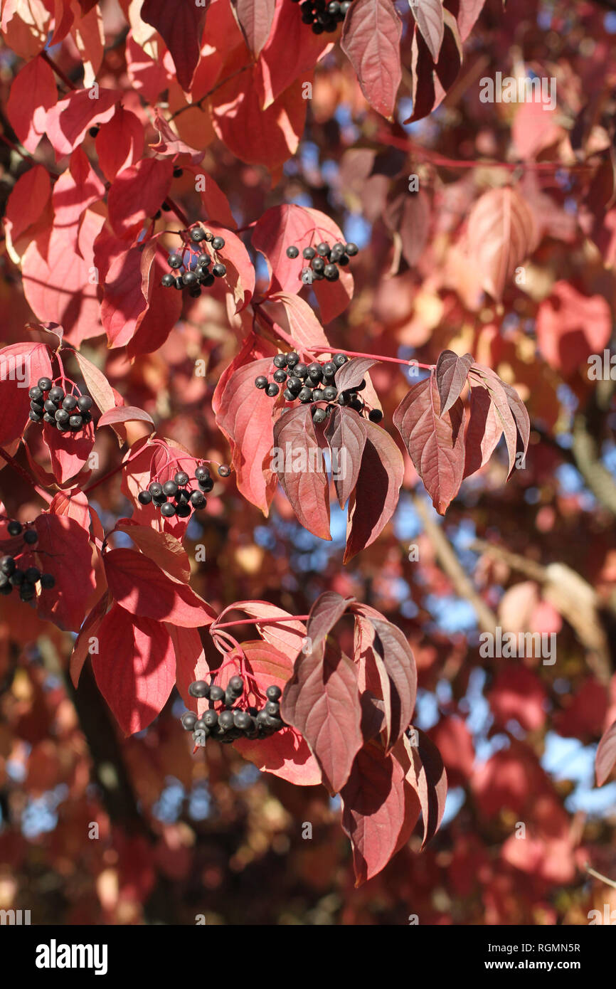 Autumn Clusters Of Black Berries And Purple Leaves On The