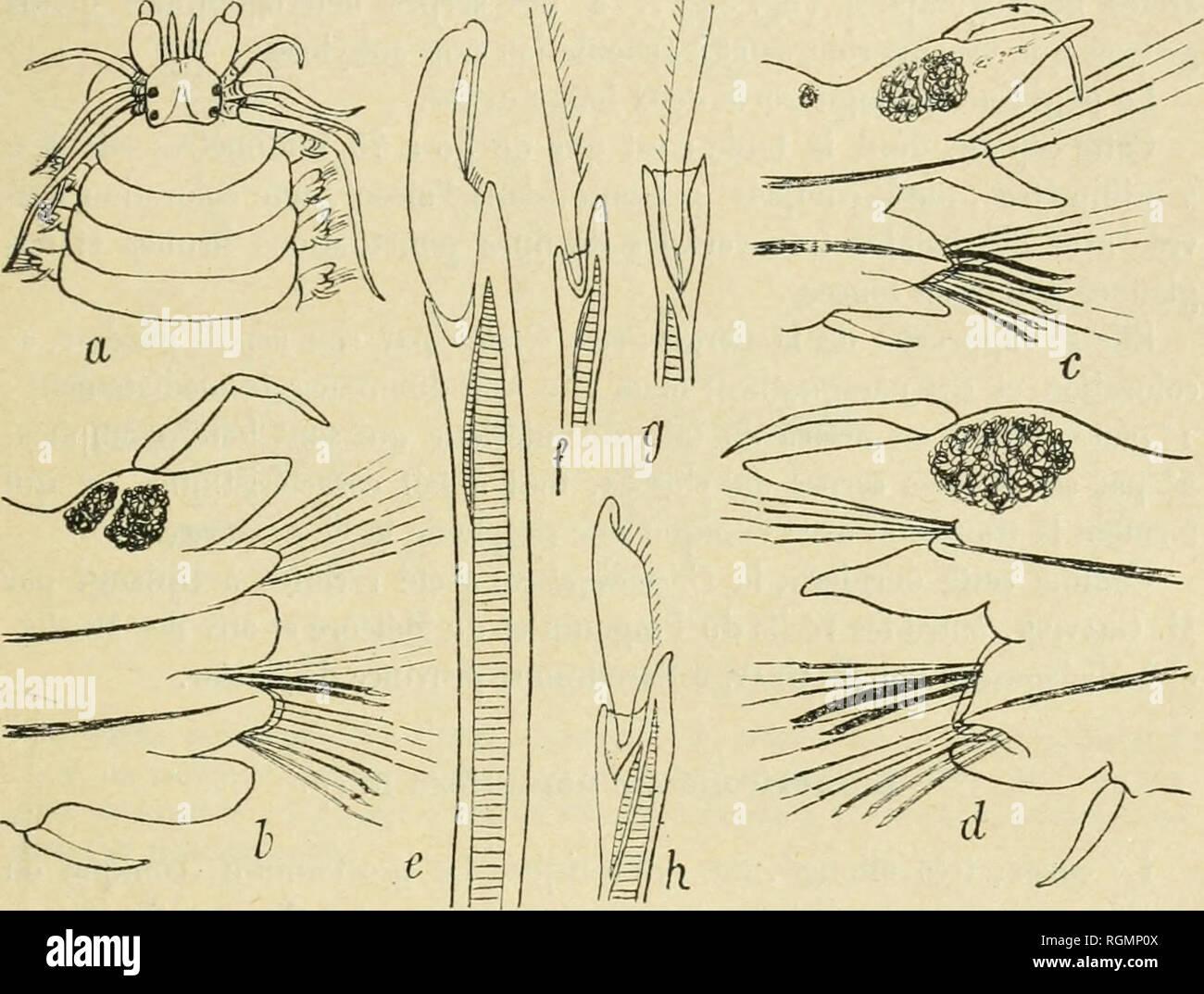 """. Bulletin du Musum national d'histoire naturelle. Natural history. â 507 â dépasse à peine le segment buccal, tandis que la postérieure supérieure atteint le U""""-6C sétigère. Les mâchoires sont très foncées, courtes, larges, à 4-6 dents bien marquées. H n'existe pas de paragnathes à l'an- neau oral. Ceux de l'anneau maxillaire, foncés, gros et coniques, sont ainsi répartis : groupe I = i ; II = 4 à 8 formant un arc à un seul rang; 111^2 ou 3 en ligne longitudinale; IV âamas triangulaires de h à 6. Le segment buccal est fortement échancré par le prostomium; il est aussi long q - Stock Image"""