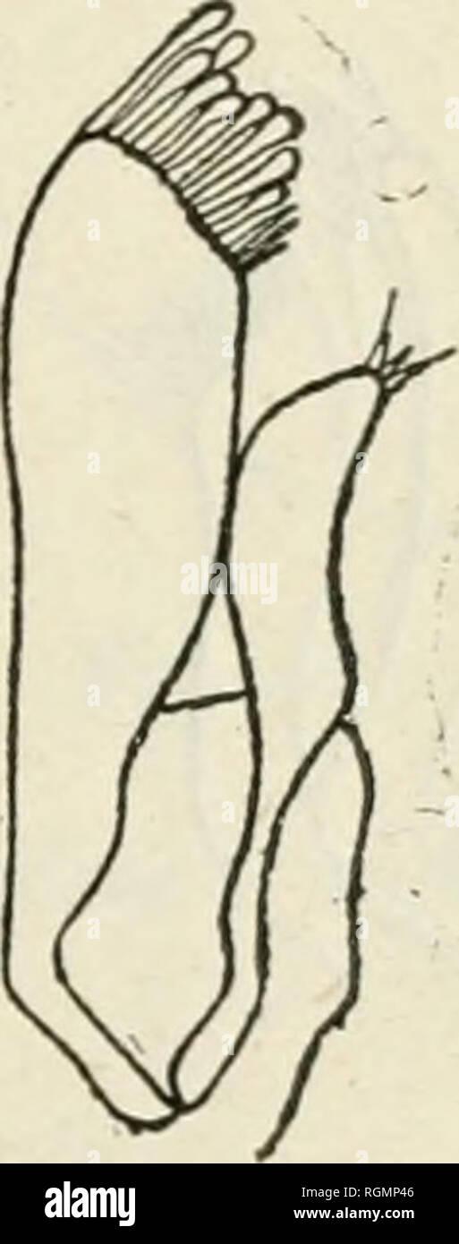 . Bulletin du Musum national d'histoire naturelle. Natural history. Fig. /,. Fiff. 5. Fig.6. Fin-. /. Mminnpsurus arcticus. â MaxiHipède X 29/9. Fig. 5. â Idem. â Mandibule X 29/3. Fig. 6. â Idem. â Pi'eraière mâchoire X 99/a. accessoire fixé sur le troisième article du pédoncule; i'écaille est petite et garnie de soies. Ces antennes sont brisées à l'extrémité du troisième article du pédoncule chez tous les spécimens. Le quatrième article du palpe du maxillipède n'est pas prolongé en pointe à l'extrémité distale interne; il est de forme rectangulaire. Les mandibules ont l'exp - Stock Image