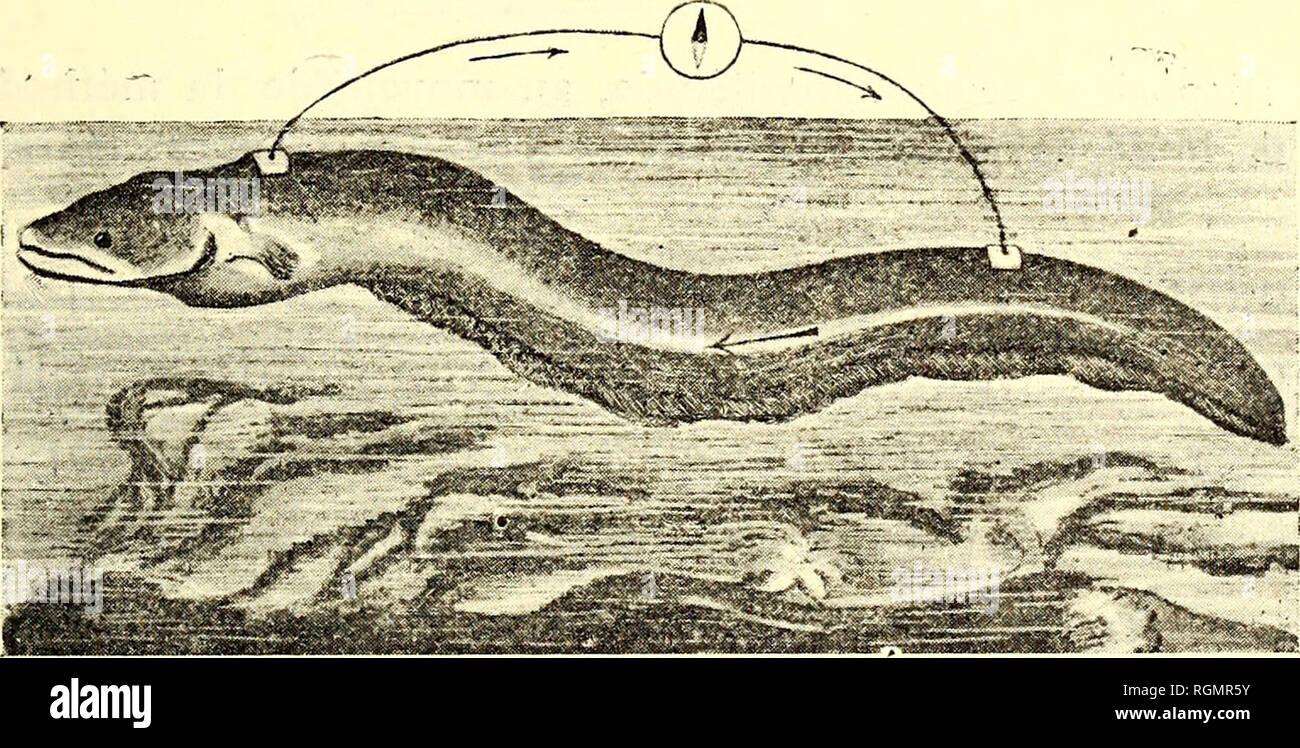 . Bulletin du Musée océanographique de Monaco. Ocean. â i3 â phénomène obtenu par l'excitatioa directe du lobe électrique, soit par l'excitation réflexe, c'est-à -dire à la décharge normale de l'appareil électrique que nous allons maintenant étudier. Décharge normale de la Torpille. Un dispositif analogue au précédent a permis à Marey d'établir que la durée totale du flux électrique de la Torpille 23 était de de seconde. ioo Mais ce flux*n'est pas simple, il se compose de flux élémen- I 2 taires qui se succèdent à des intervalles de â ou â de seconde, ioo ioo. Fig. 14. Déte Stock Photo
