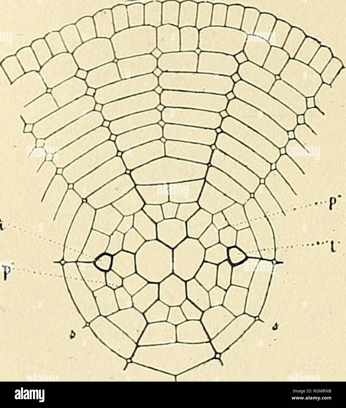 . Bulletin du Muséum national d'histoire naturelle. Natural history. â 118 â Région moyenne. â Dans chaque secteur médian, la région moyenne se subdivise par une première cloison radiale (B, fig. h) en deux cellules in- égales, puis une seconde cloison radiale B' divise la grande cellule de façon à donner en définitive trois cellules placées côte à côte et dont la médiane est un peu plus petite que les deux autres. Dans le grand secteur gauche, une cloison longitudinale très oblique (H, fig. 3) dédouble incom- plètement cette région en une portion externe petite et une portion  - Stock Image