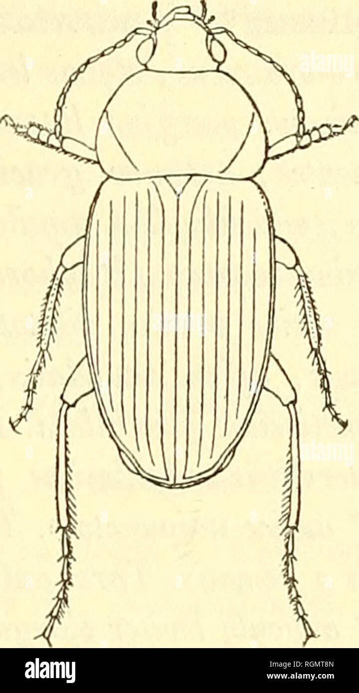 . Bulletin du Muséum national d'histoire naturelle. Natural history. â 243 â Siam (M. Bocourt) ; Cliantaboun à Battambang (Siam cambodgien) (M. Pavie).â 2 ind. j.. Fig. 5. â Megaloodes politus Lesne. 7. Rhembus laevis n. sp. â B. lalifronti Dej. sat vie i nus, sed major. Corpus antice angushore, omnino nigrum, nitidum, articulis ultimis 8 anten- narum rufo-brunneis. Caput magnum, lÅve, antice laie depressum, sulcis frontalibus obsolelis ; clijpeo brcvitcr semicirculare emarginato; labro asy- metrico, quam in R. Jatifronte minus emarginato; mandibulis crassioribus, scrobibus laterahbus latilud - Stock Image