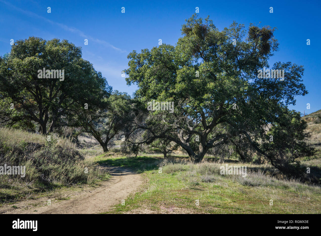 Green oak trees stand above dirt walking trail in Placerita Canyon. - Stock Image