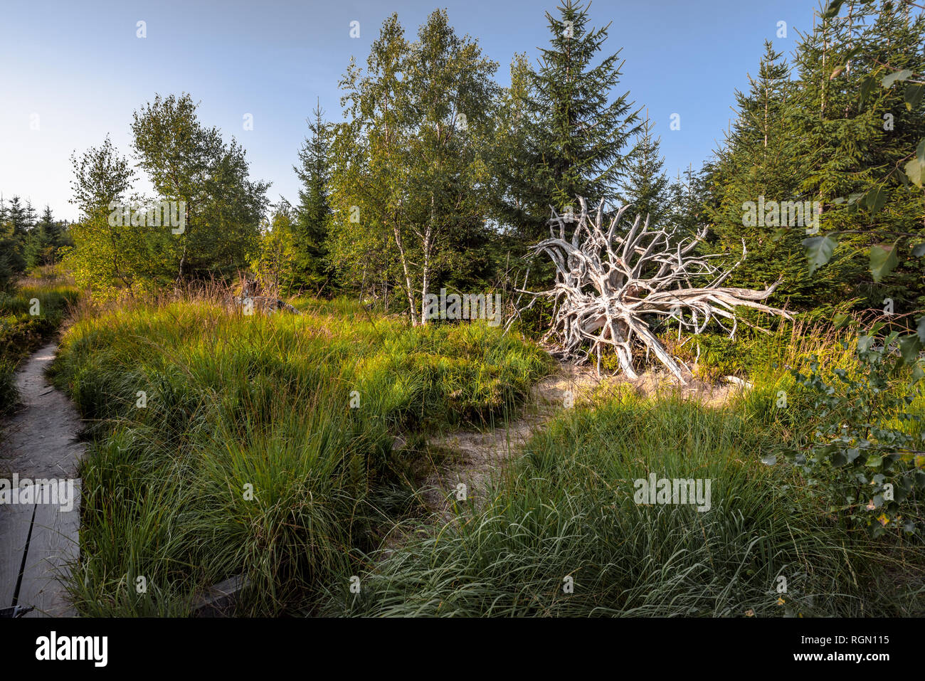 hiking trail Lotharpfad in Northern Black Forest, Germany, conservation area of Bannwald, windthrown root, forest zone without intervention Stock Photo