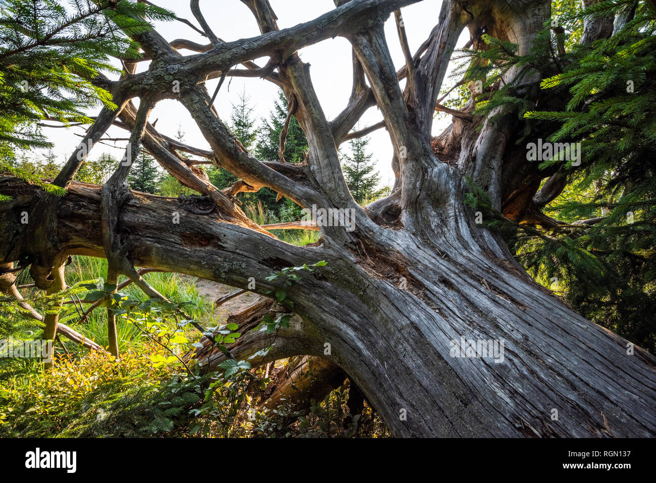 old tree and root, Northern Black Forest, Germany, strictly protected conservation forest and nature trail Lotharpfad, deadwood by windthrow Stock Photo