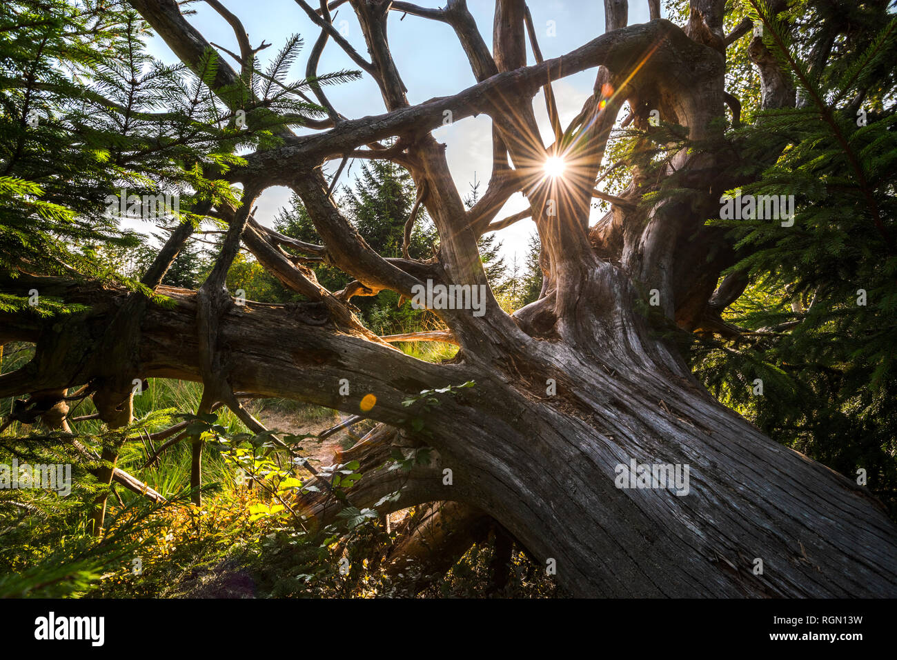sunset seen through huge old root, Northern Black Forest, Germany, nature reserve and experience trail Lotharpfad; sunrays and landscape Stock Photo