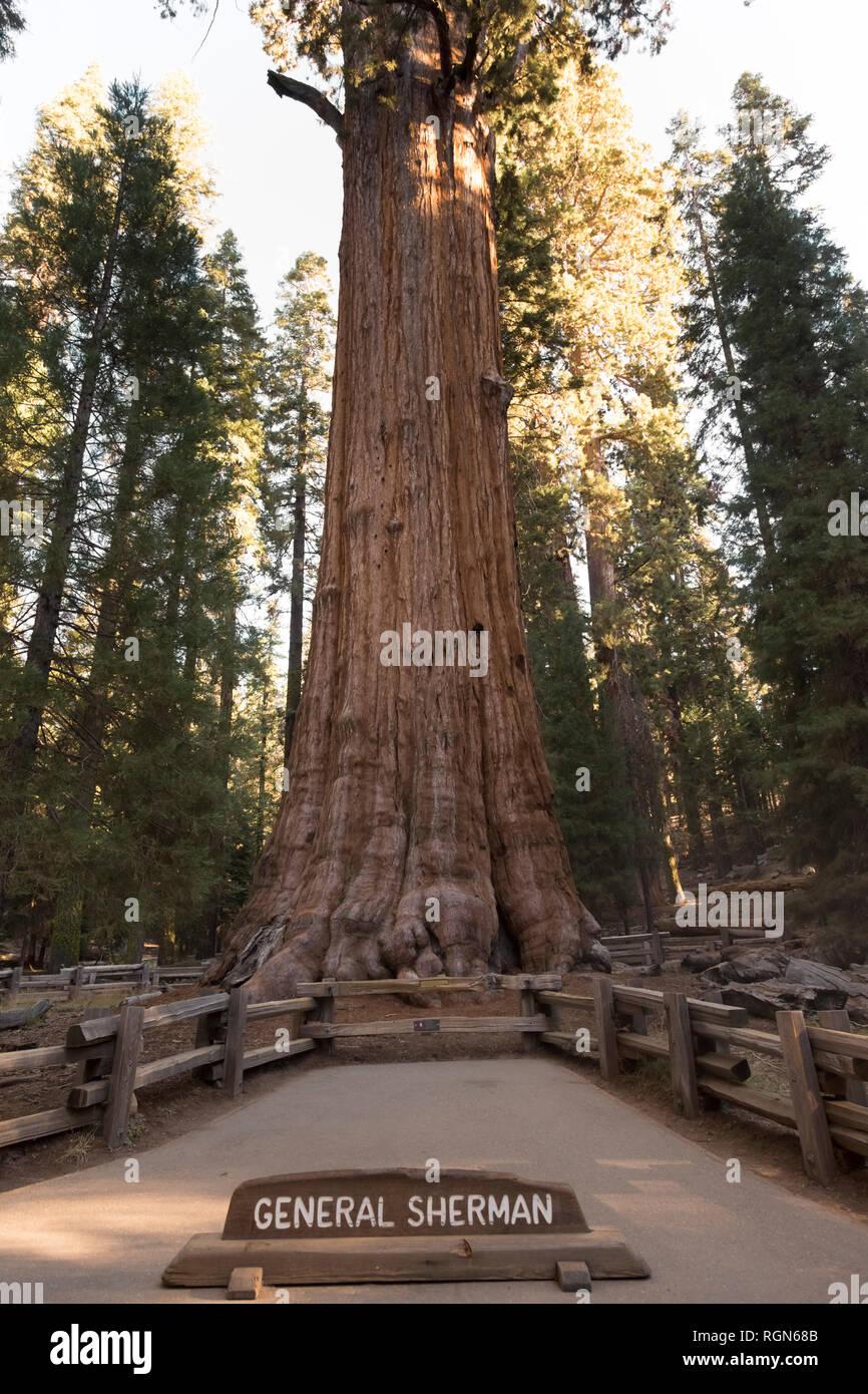 USA, California, Death Valley, General Sherman Tree, giant sequoia, Sequoiadendron giganteum Stock Photo