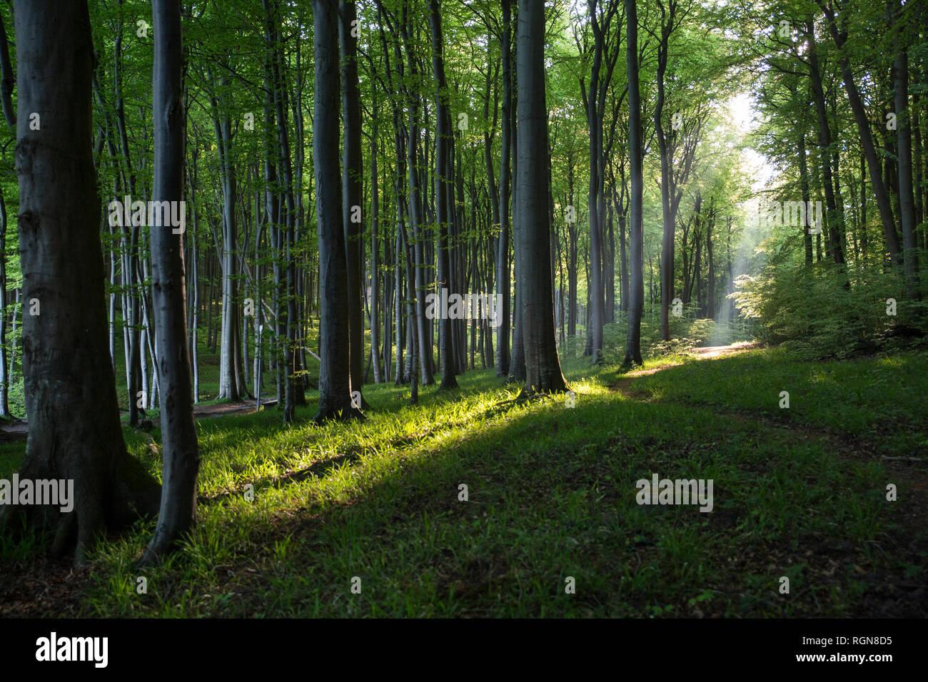 Germany, Mecklenburg-Western Pomerania, Ruegen, Jasmund National Park, Beech forest Stock Photo