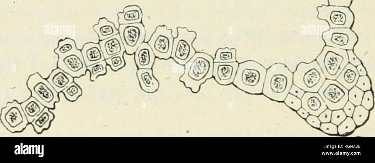 """. Bulletin du Musum national d'histoire naturelle. Natural history. â 346 â vel bifido, cnrlostomio déficiente. Sporae ignotae. Planlulae masculae gra- ciles, ad basin foliorum caulinorum nascentes, plures flores gereutes, foiiis minutis, lanceolato-acuminalis, unistratosis. Province de Tananarive, district d'Andramasina; sur branches, dans un petit bois, vers 1,700 mètres d'altitude, entre Tsinjoarivo et Ambohima- sina, 2 décembre 1912; n"""" 190s?. Cette intéressante espèce, de la section Goniostoma, diffère de toutes ses congénères des îles austro-africaines, et même, je crois,  - Stock Image"""