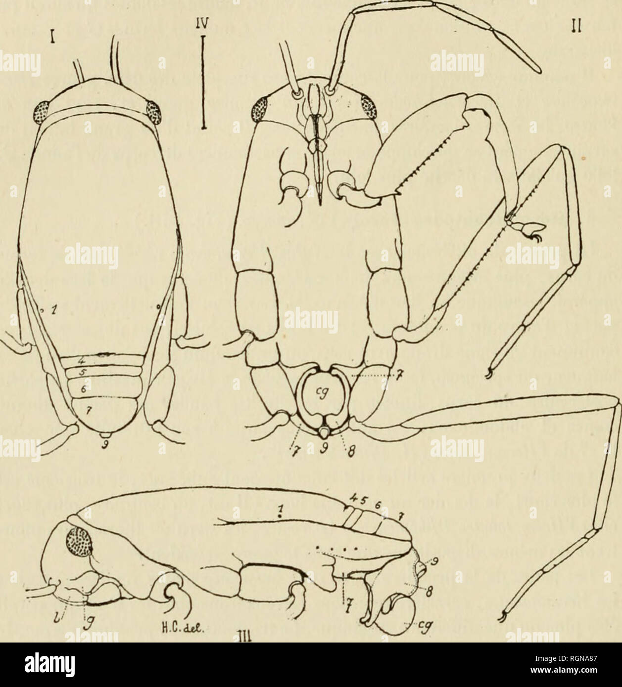 . Bulletin du Musum national d'histoire naturelle. Natural history. â -216 â sont très sensiblement égales, le fémur et la jambe de la paire médiane sont légèrement plus courts, mais le deuxième article du tarse est nette- ment plus long que l'article correspondant de la troisième paire. Le fémur médian porte une rangée de vingt épines environ, comme chez les Hcr- matobates.Les griffes doubles, courbées en faucille, ont aussi la même dis- position.. Hermatobatodes Marcha r?, adulte, type. I. Face dorsale. â II. Face ventrale. â III. Vu latéralement, l'appareil génital étendu.  - Stock Image