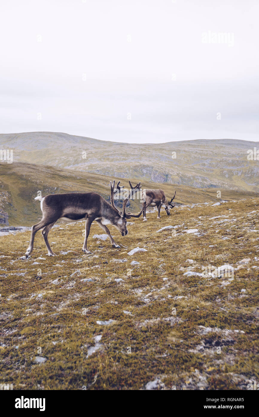 Two reindeers grazing at the North Cape, Norway Stock Photo