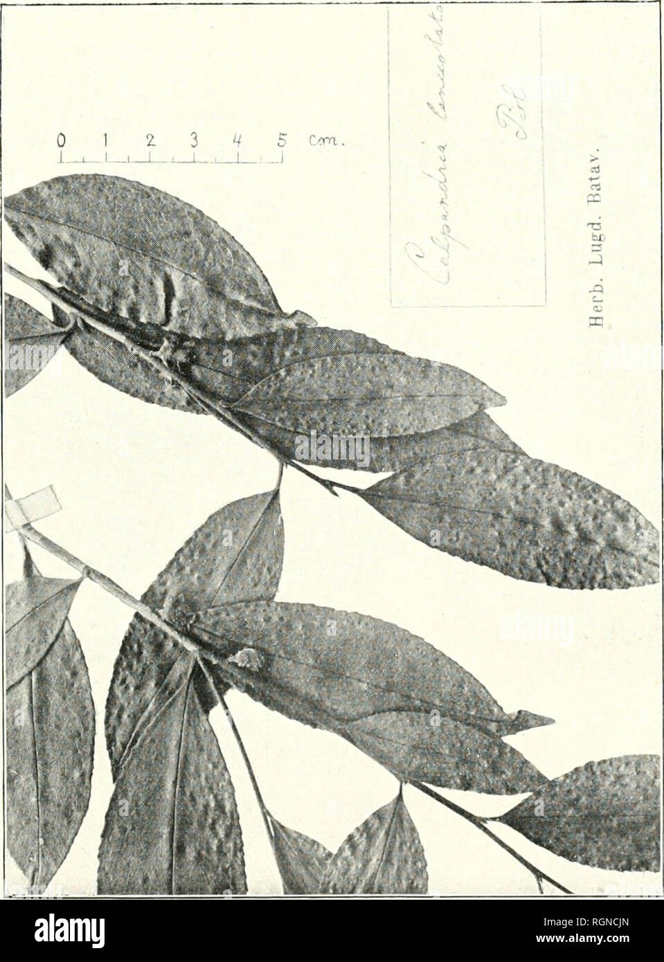 9bfeb3d84 Bulletin du Jardin botanique de Buitenzorg. Plants -- Indonesia; Plants. o  c .
