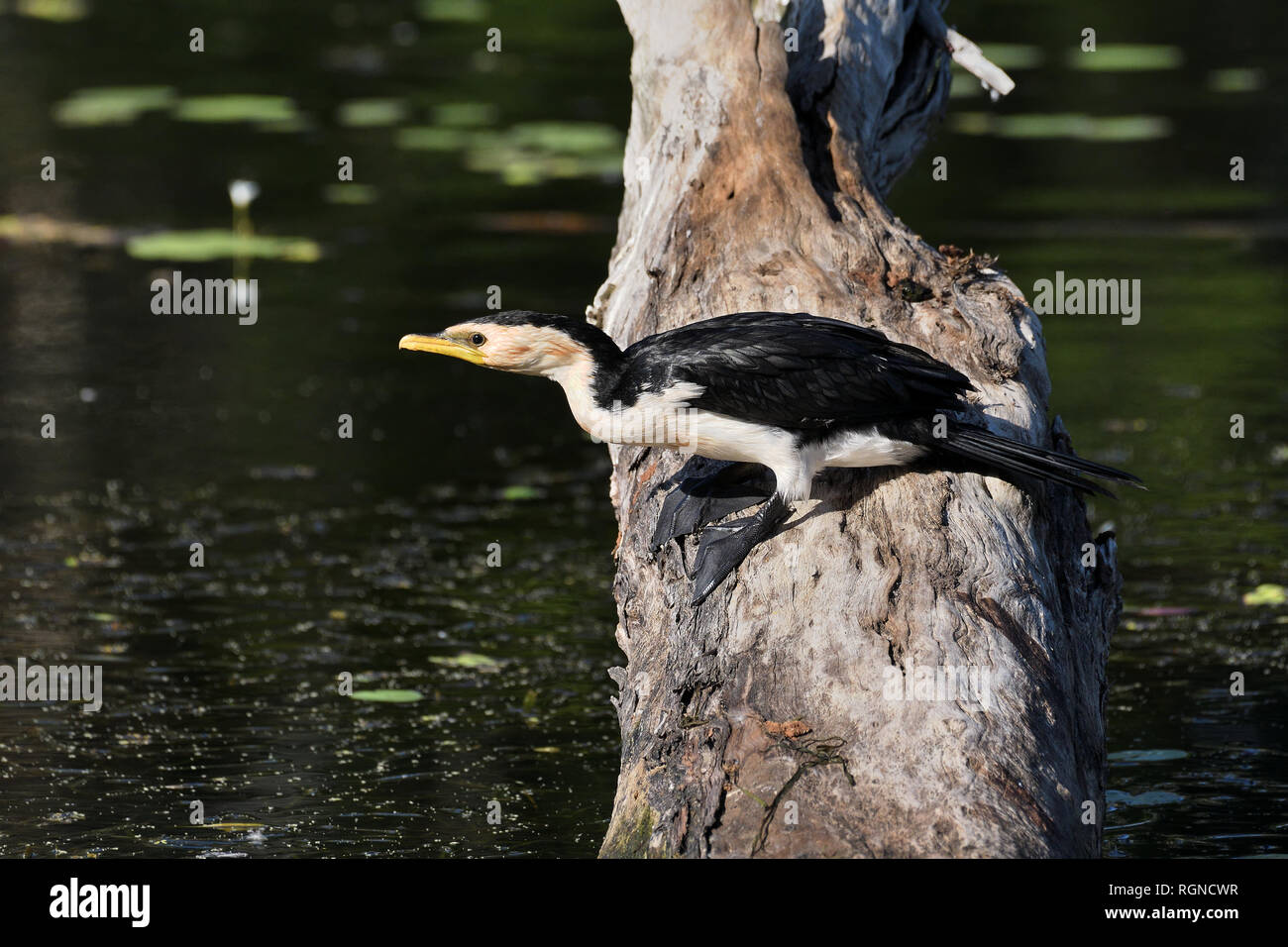An Australian, Queensland Little Pied Cormorant ( Phalacrocorax melanoleucos ) about to dive into a lagoon from an old dead tree - Stock Image