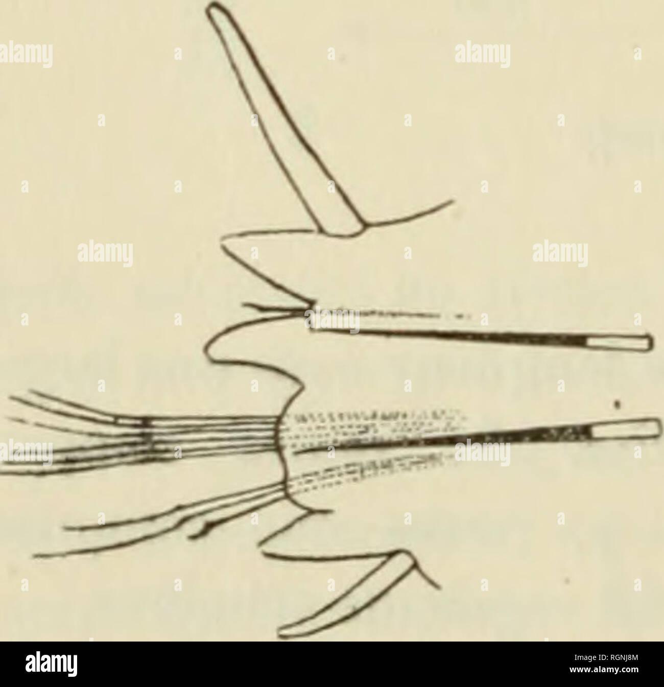 """. Bulletin du Musum national d'histoire naturelle. Natural history. o:-â Le prostominni, hexagonal, est plus Inrge que long; les auteones, dont les insertions sont voisines l'une de l'autre, ont une longueur égale aux deux tiers environ de celle du prosto- mium. Les yeux, sensiblement égaux enh""""e eux, sont circulaires. Les palpes, très dévelojipés, s'étendent fort en avant du prostomium; l'article terminal grêle a une longueur moilé moindre que l'article basilaire renflé. Le pi'emier segment, achète, est un peu plus large que le pre- mier sétigère. Les cirres tentaculaires so - Stock Image"""