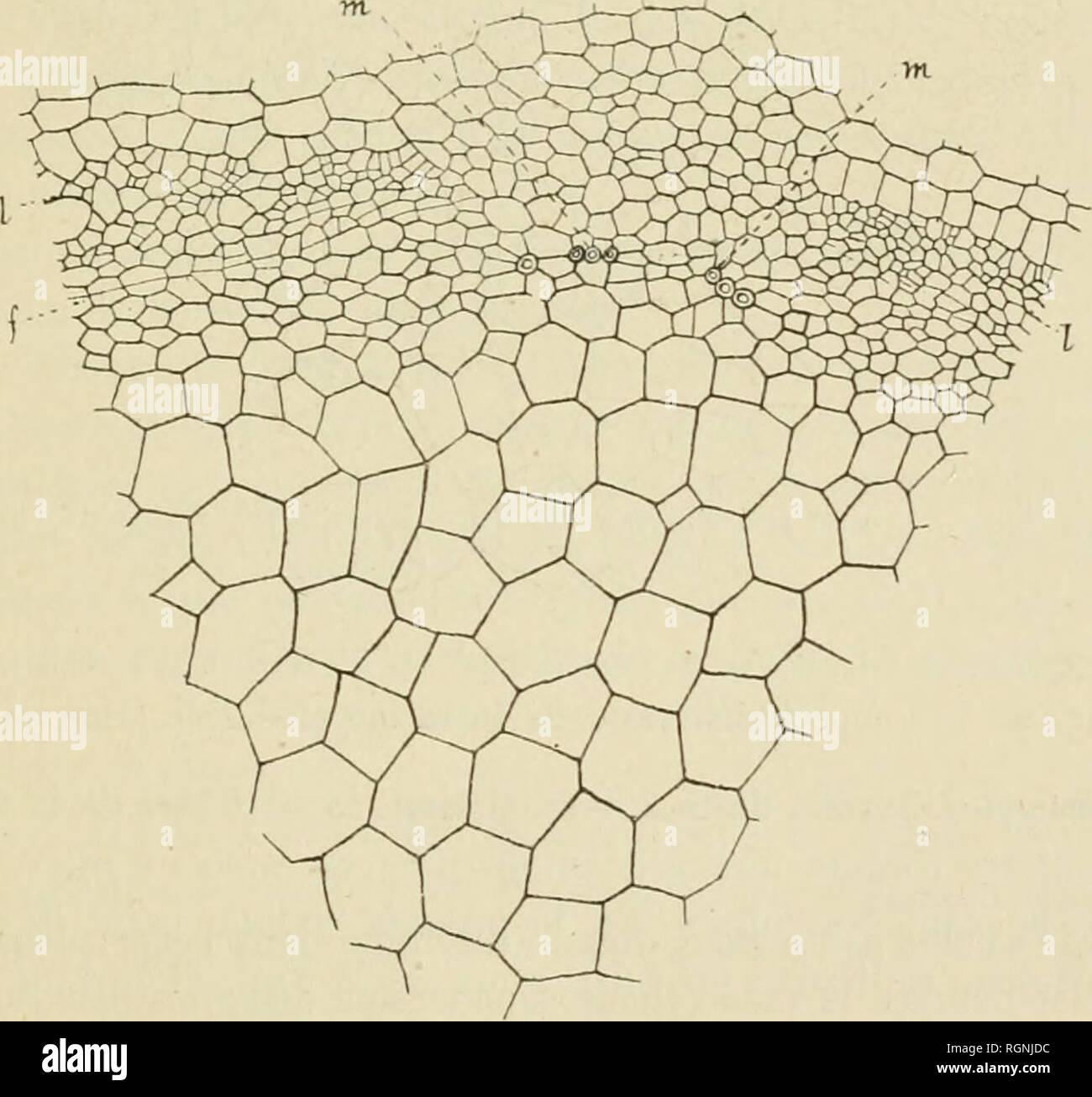 . Bulletin du Musum national d'histoire naturelle. Natural history. - i>b - A sa partie supérieure, cette racine émet de bonne heure quatre radi- celles, dans chacune desquelles disparait en partie le faisceau de protoxy- lèrae correspondant. L'autre partie du protoxylème se continue vers la tige, mais pendant un trajet très court, car ses vaisseaux sont successive- ment frappés d'un arrêt de développement. Dans la région de l'axe corres- pondait à la surface du sol, il ne se forme plus aucun vaisseau de protoxylème. Les premiers vaisseaux (m, fïg. 3) qui apparaissent à ce niveau - Stock Image