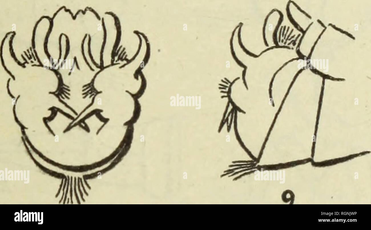 . Bulletin du MuseÌum d'histoire naturelle. Natural history. d: i5-i() iiiillimèU-es. Variélé plus foncée que les piécédenles, (Tuii gl'is brun, capturée dans les régions monlagneuses. Mai, Iven, ravin de la cote (D' Vergue, etc.). T. TRUNCATA Lw. â Mai, Monastir, région d'iven, ravin de la cote 1A i 1 (I)' Vergue). T. LUNATA L. = Ockracea Mg. âAvril, mai, juin, Florina (Pharmacien Lambert), Marais du Jungular, bas Vardar (D' Joyeux), Monasiir, ravin de la cote 1/129 (D' Vergne), Zélova (D' Robin). T. SELENE Mg. â Juin, juillet, Bukovo, Holeveu (Infirmier Buuico). T. PELiosTiGMA Schu - Stock Image