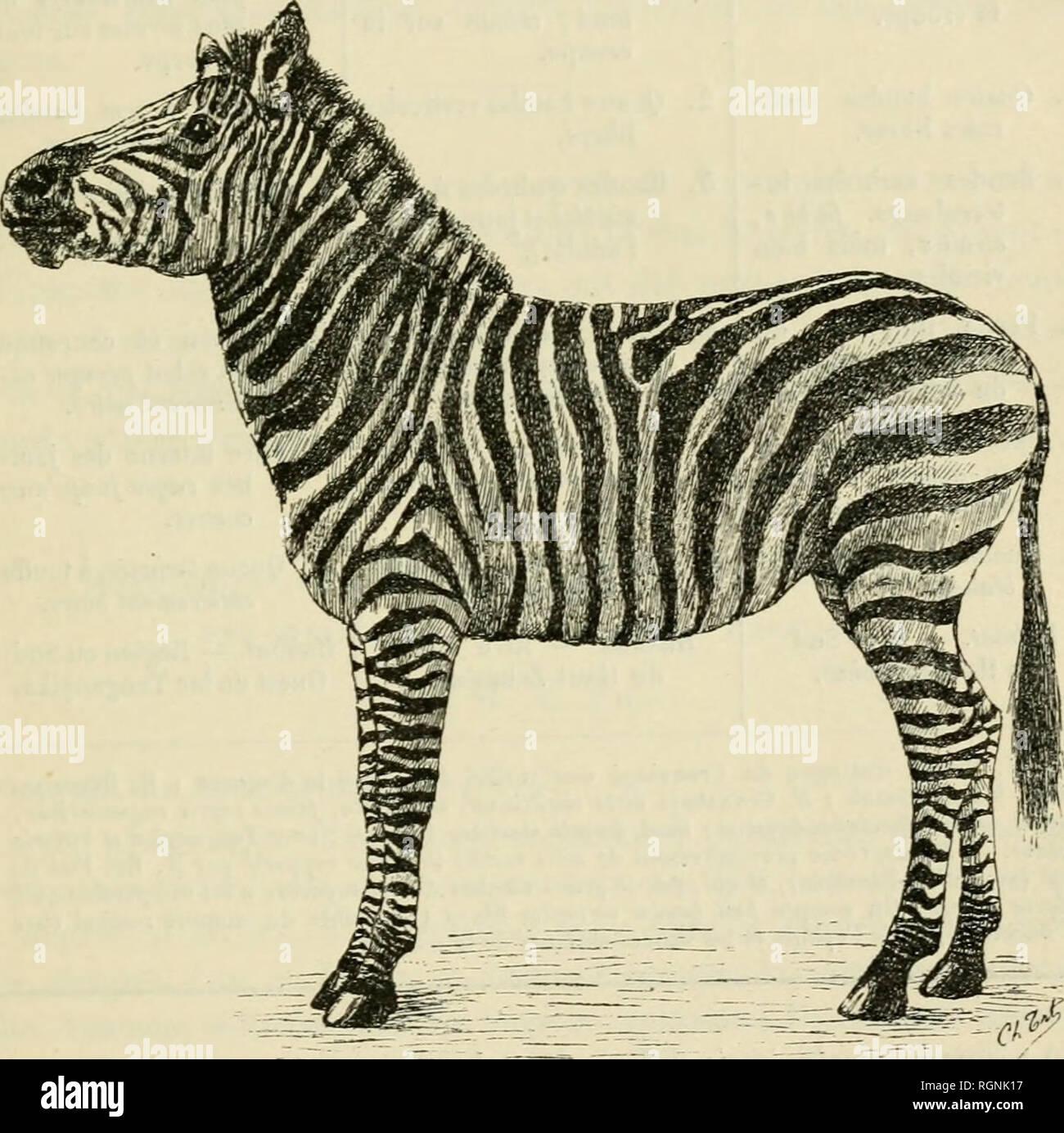 . Bulletin du Musum national d'histoire naturelle. Natural history. — 65 — élégantes que celles d'un jeune poulain du même âge de la variété E. Chap- manni. 11 existe en Europe deux autres spécimens provenant, comme celui-ci, du voyage du Dr Holub et de la même localité. L'un est au musée de Vienne (sous le nom d'£. Chapmanni); l'autre, au musée de Budapest (sous le nom d'£. Bôhmi). D'après M. Prazak, qui les a étudiés, ces trois spé- cimens sont identiques.. Zèbre de Zambèze (Equus BurcheUi subsp. zamheziensis, Prazak),' voyage du Dr Holub (Muséum de Paris). Dans le tableau suivant, on a ind - Stock Image