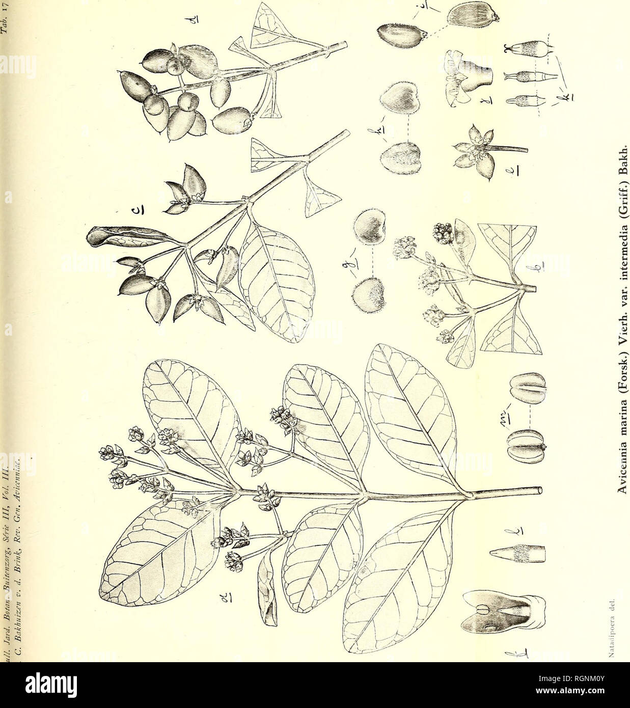 . Bulletin du Jardin botanique de Buitenzorg. Plants. . Please note that these images are extracted from scanned page images that may have been digitally enhanced for readability - coloration and appearance of these illustrations may not perfectly resemble the original work.. 's Lands Plantentuin. Buitenzorg [etc. ] - Stock Image