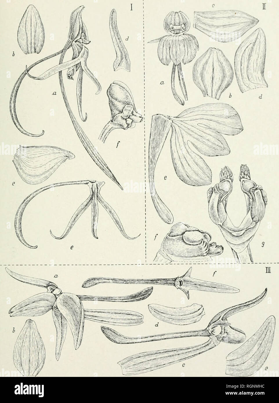 . Bulletin du Jardin botanique de Buitenzorg. Plants -- Indonesia; Plants. Bui-L. JARD. Bot. Buitenzorg, Série III, Vol. V. j. J. Smith: Tafeln javanische Orchidtcn. Tab. 20.. J. J. Smith, del.. Please note that these images are extracted from scanned page images that may have been digitally enhanced for readability - coloration and appearance of these illustrations may not perfectly resemble the original work.. Kebun Raya Indonesia. Buitenzorg : Db 's Lands Plantentuin - Stock Image