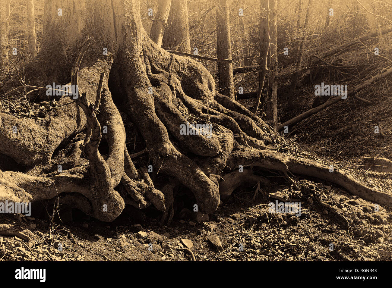 Surreal fairy tale fantasy image of gigantic roots of an old tree, covered with moss, mysterious forest - fantastic realism in nature, spooky,,vintage - Stock Image